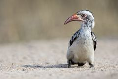 Red Billed Hornbill sitting on ground looking for crumbs to eat royalty free stock photos