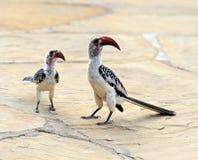Red-billed Hornbill. Tockus erythrochynchus, Samburu Game Reserve, Kenya Royalty Free Stock Photography