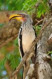 Red-Billed Hornbill (Tockus erythrorhynchus) Stock Photography