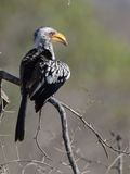 Red-Billed Hornbill (Tockus erythrorhynchus) Royalty Free Stock Photo