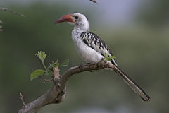 Red-billed Hornbill, Tockus Erythrorhynchus Stock Photo