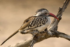 Red-billed hornbill (Tockus erythrorhynchus) Royalty Free Stock Photography