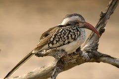 Red-billed hornbill (Tockus erythrorhynchus) Stock Images