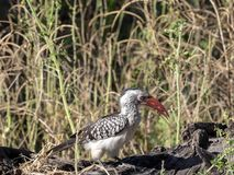 Red-billed Hornbill Tockus erythrorhynchus looking for food, in Bwabwata, Namibia Royalty Free Stock Image