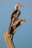 Red-billed hornbill stock photo