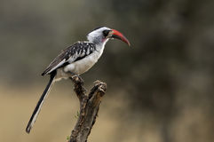 Red-billed Hornbill Royalty Free Stock Photography