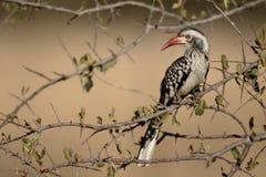 Red-billed hornbill, Tockus erythrorhynchus Royalty Free Stock Photos