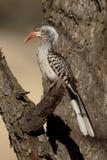 Red-billed hornbill, Tockus erythrorhynchus Stock Photo