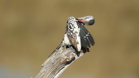 Red-billed hornbill Royalty Free Stock Image