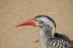 Red-billed Hornbill (Tockus rufirostris) Stock Photography