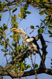 Red-billed hornbill on a tree branch stock images