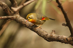 Red-billed Leiothkix [Leiothrix lutea] Stock Photos