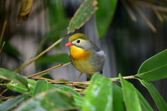 Red-billed leiothrix Royalty Free Stock Image