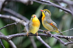 red-billed leiothrix Stock Photo