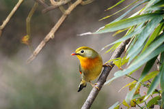 Red-billed Leiothrix Royalty Free Stock Images