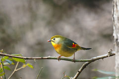 Red-billed Leiothrix Stock Photos