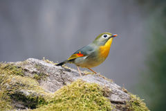 Red-billed Leiothrix Royalty Free Stock Photography