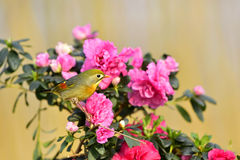 Red-billed Leiothrix Royalty Free Stock Photo