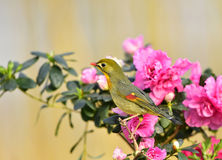 Red-billed Leiothrix Stock Images