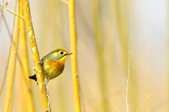 Red-billed Leiothrix Stock Image