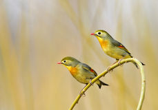 Red-billed Leiothrix Stock Photography
