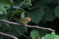 Red billed leiothrix royalty free stock photos