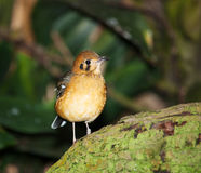 Red-billed leiothrix bird Stock Photo