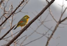 A Red-billed Leiothrix. This bird is a symbol for a sweet love Royalty Free Stock Images