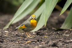 Red-billed leiothrix or Japanese nightingale Stock Photos