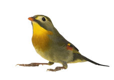 Red-billed Leiothrix - Leiothrix lutea Royalty Free Stock Photography