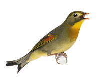 Red-billed Leiothrix - Leiothrix lutea Royalty Free Stock Images