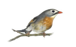 Red-billed Leiothrix (Leiothrix lutea), perched on a branch Stock Image