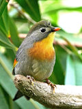 Red-billed Leiothrix (Leiothrix lutea) Royalty Free Stock Photography