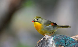 Red-billed leiothrix Royalty Free Stock Photos
