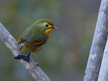 Red billed leothrix, The lipstick bird. stock images