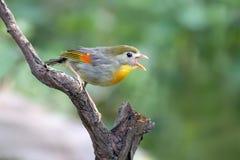 Red-billed leiothrix singing on tree Stock Photo