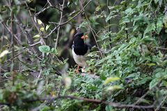 Red billed magpie stock photos