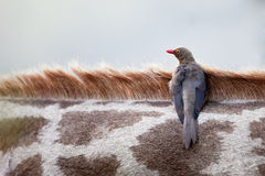 Red Billed Ox Pecker Royalty Free Stock Photography