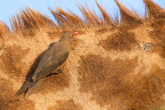 Red billed ox-pecker sitting on a giraffe neck hinting for insec Royalty Free Stock Images