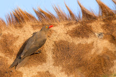 Red billed ox-pecker sitting on a giraffe neck Stock Images
