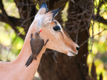Red-billed Oxpecker Stock Photography