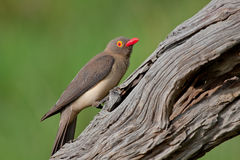 Red-billed Oxpecker Royalty Free Stock Photography
