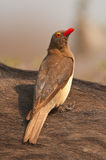 Red-billed oxpecker. Uncommon localised resident; Red bill. Larger yellow eye-wattle. Greyish back and wings. Lighter venter. Normally associate with antelope Royalty Free Stock Photo