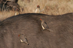 Red-billed oxpecker. S (Buphagus erythrorhynchus) ride a cape buffalo while dining on ticks.  Photographed in Londolozi game preserve, South Africa Stock Photos