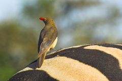 Red-billed Oxpecker Royalty Free Stock Images
