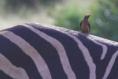 Red-billed Oxpecker andBurchell's Zebra Stock Image