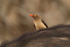 Red-billed Oxpecker on the back of a Buffalo Stock Image
