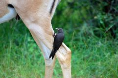 Red-billed oxpecker (Buphagus erythrorhynchus) Stock Image