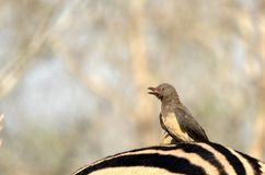 Red-billed oxpecker (Buphagus erythrorhynchus) Stock Photo