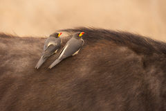 Red-billed Oxpecker Royalty Free Stock Image